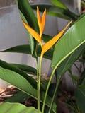 Heliconia ` φανός ` που απομονώνεται χρυσός στο υπόβαθρο φύσης στοκ εικόνα