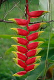 Heliconia. Flower, wild flower Stock Image