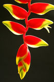 Heliconia. Tropical heliconia against black background Royalty Free Stock Image