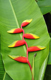 Heliconia. Flower on green leaf royalty free stock photos