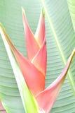 Heliconia Immagine Stock
