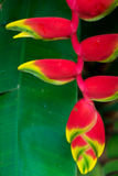 Heliconia Arkivfoto