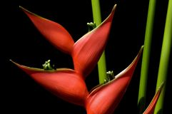 Heliconia Photo stock