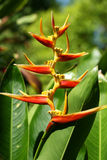 heliconia 图库摄影