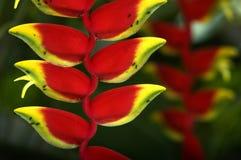 heliconia Стоковое Изображение