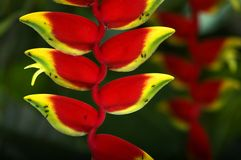 Heliconia Stock Photography