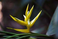 Heliconia amarelo do Natal sobre o fundo escuro da floresta Imagem de Stock Royalty Free