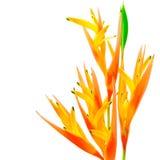 Heliconia anaranjado Fotos de archivo