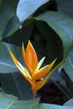Heliconia angusta Fotografia Stock