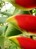 Heliconia with ants Royalty Free Stock Images