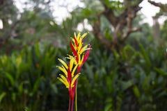 Heliconia aurantiaca - jaskrawy piękny kwiat Obrazy Royalty Free