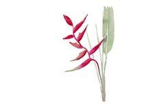 Heliconia avec le vecteur d'aquarelle de feuille Photos libres de droits