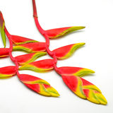 Heliconia Royalty Free Stock Photography