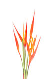 Heliconia blomma Arkivfoto