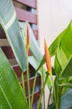 Heliconia blooming along the fence. Royalty Free Stock Images