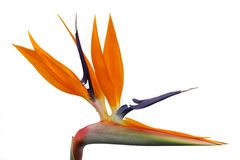 Heliconia blossom Stock Images