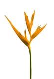 Heliconia Blume Stockfoto