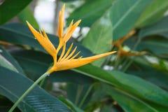 Heliconia-Blume im Garten Lizenzfreies Stockbild