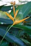 Heliconia-Blume im Garten Stockbilder