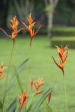 Heliconia-Blume im Garten Stockbild