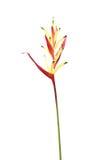 Heliconia-Blume lokalisiert auf weißem Hintergrund lizenzfreies stockbild