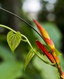 Heliconia-Blume mit dem Herz-förmigen Blatt eingewickelt um es Stockfoto