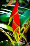 Heliconia bud. Heliconia red flower bud close-up Royalty Free Stock Photos