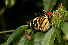 HELICONIA BUTTERFLY drinking NECTAR FROM A FLOWER Royalty Free Stock Photography