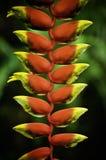 Heliconia caribaea Stock Images