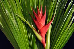 Heliconia Caribea Royalty Free Stock Photos