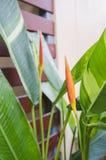 Heliconia che fiorisce lungo il recinto. Immagini Stock Libere da Diritti