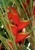 Heliconia. Close up of Heliconia plant Stock Image