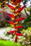 Heliconia collinsiana Stock Image