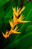 Heliconia. Derived from the Greek word helikonios, is a genus of about 100 to 200 species of flowering plants native to the tropical Americas and the Pacific royalty free stock image