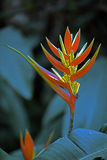 Heliconia di Natale del fiore, arancia di Heliconia Augusta Fotografie Stock