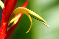 Heliconia Fire Royalty Free Stock Photo