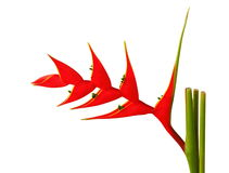 Heliconia flowe. Stock Photo