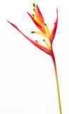 Heliconia flower Royalty Free Stock Image