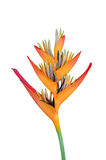Heliconia flower. Isolated heliconia flower on white background Stock Image