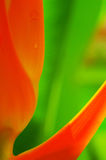 Heliconia flower. Close-up of heliconia latispatha in the garden Stock Photo