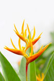 Heliconia flower Stock Photography