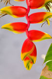 Heliconia flower Stock Image