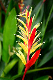 Heliconia flower. Stock Image