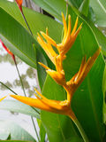 Heliconia flower,Bird of Paradise flower with green leaf near ri Stock Photo