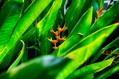 The Heliconia flower with leafs. The Heliconia flower Called in Thai Tamraksa with leafs zoom out Stock Images