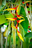 Heliconia flower Stock Photos