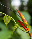 Heliconia flower with heart-shaped leaf wrapped around it Stock Photo