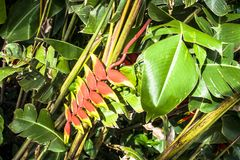 Heliconia flower Royalty Free Stock Images