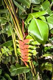 Heliconia flower Royalty Free Stock Photo