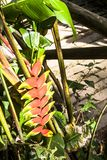 Heliconia flower Stock Images